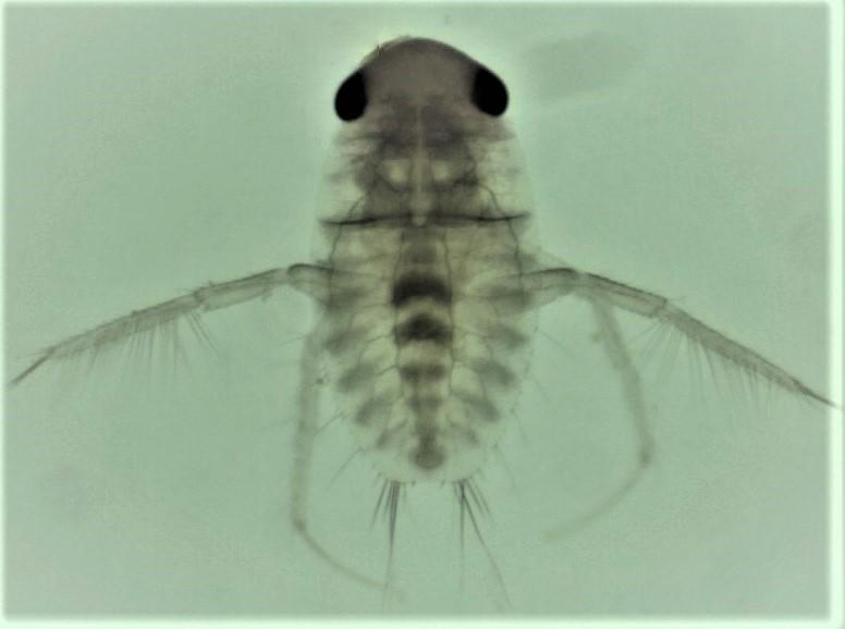 ninfa en infectando cangrejos de río